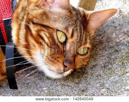 Bengal Cat On Leash Harness Outside Lying On Ground Close Up