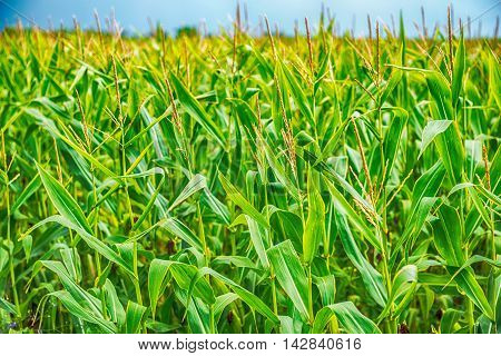 Closeup of nearly mature organically grown silage maize with male and female flowers are contrasting with a blue sky in the summer season.