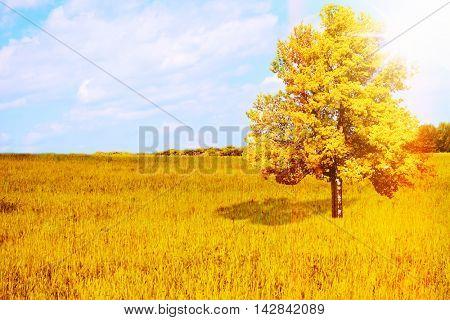 Big lonely tree in rye field. Beautiful autumn landscape.