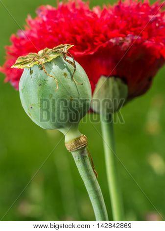 Red Opium poppy flower in blossom