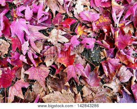 Fallen leafs background in red and pink