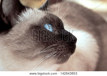 Close Up Of Cute Blue-eyed Siamese Cat. Selective Focus