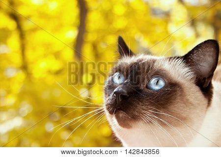 Portrait Of A Siamese Cat On A Yellow Autumn Background. Selective Focus. Toned Image.