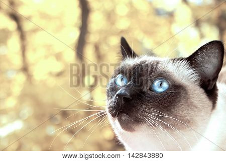 Portrait Of A Siamese Cat On A Yellow Autumn Background. Selective Focus. Toned Image