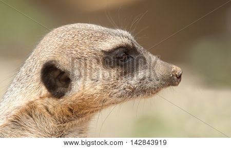 photo portrait of an alert adult meerkat