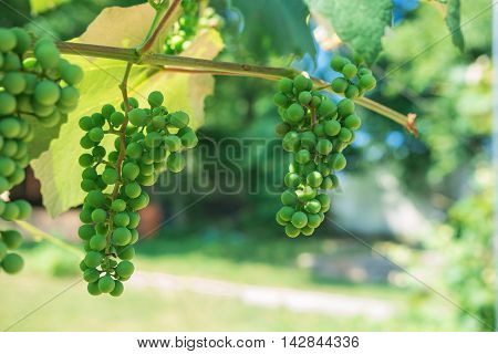 Green Grapes Fruit On The Vine. Unripe