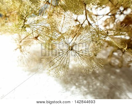 Dried Fragile Hydrangea Hortensia Flower On White Background