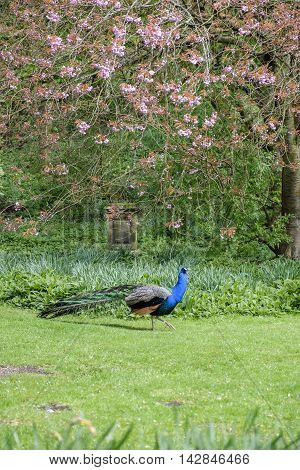 Portrait format image of beautiful peacock with its colorful blue and green plumage walking through a garden against a background of a tree with pink spring blossom