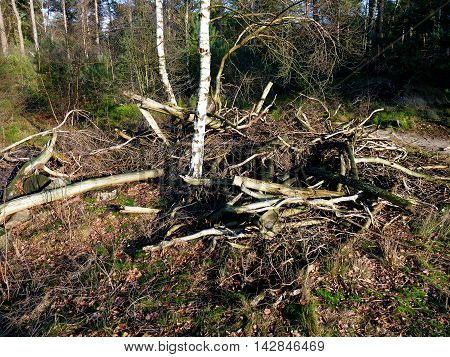 Pine Forest Trees Broken Down Branches Pile