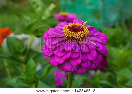 Zinnia Flowers On The Natural Background..
