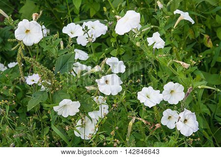 White Petunias On The Flower Bed. Close Up View Lots Of White Petunia Flowers. .