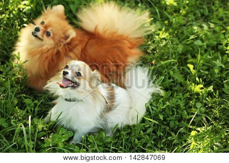 Cute fluffy dogs on green grass