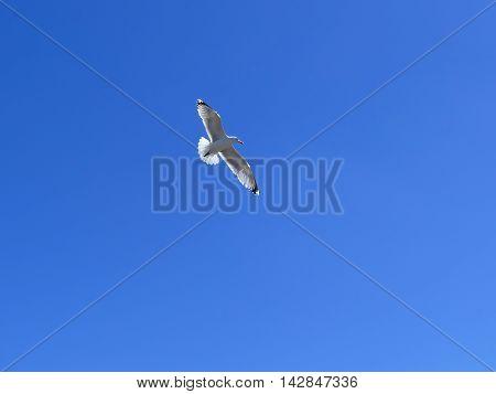 Single sea gull in blue sky with spreaded wings