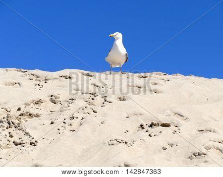 Sea Gull On Sand Dune With Blue Sky