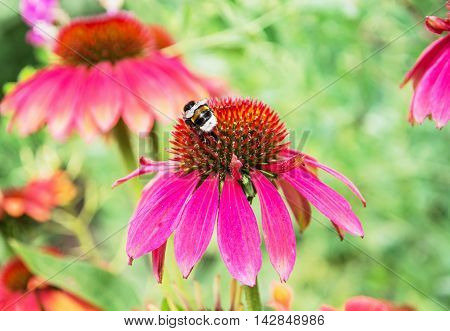 Bumble-bee pollinating red rudbeckia flowers in the summer garden. Natural scene. Beauty in nature. Fauna and flora. Vibrant colors.
