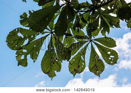 Horse-chestnut green leaves. Detailed natural contrast scene. Beauty and nature.
