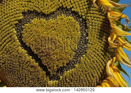 Heart on a sunflower. Flower sunflower bloom on a field of sunflowers