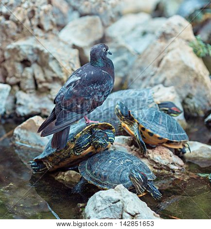 Grey feral pigeon sits on red eared slider turtles