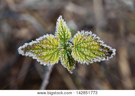 Plant covered with hoar frost - close up