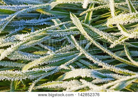Green grass covered with hoar frost close up
