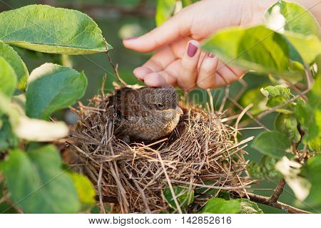 Human hand touching a baby bird sitting in the nest green leaves around the nest close up