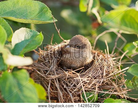 Cute baby bird waiting for its mother in the nest (Common Whitethroat - Sylvia communis)