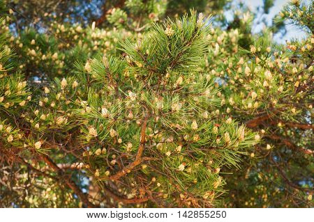 Branch of pine tree with needles