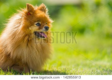 Small and hairy dog in summer meadow