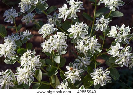 The variegated green and white flowers Snow-on-the-Mountain