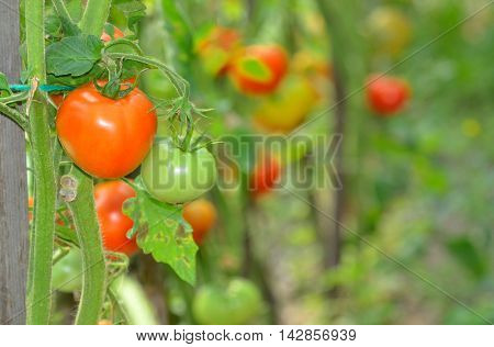Ripe tomatoes growing in a greenhouse