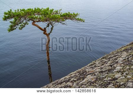 Bent pine tree on cliff in eastern Finland