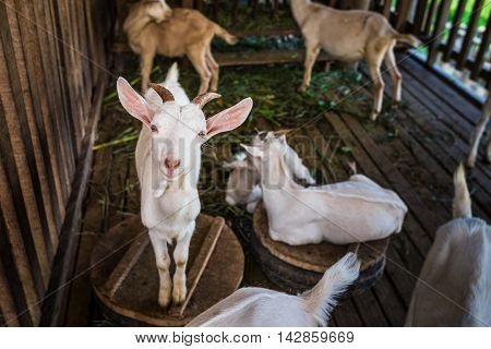 Goat in farm at Vang Vieng, Laos