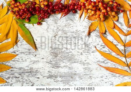 colorful autumn leaves with red berries of viburnum or Guelder rose over white wooden background with copy space