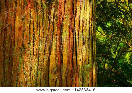 a picture of an exterior Pacific Northwest forest with a Western red cedar tree