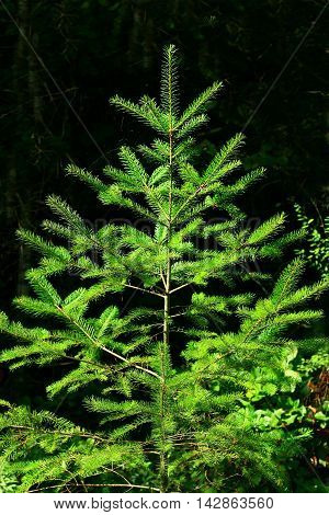 a picture of an exterior Pacific Northwest young Douglas fir tree