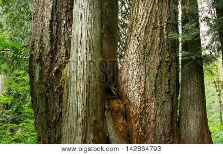 a picture of an exterior Pacific Northwest forest of old growth  Douglas fir trees