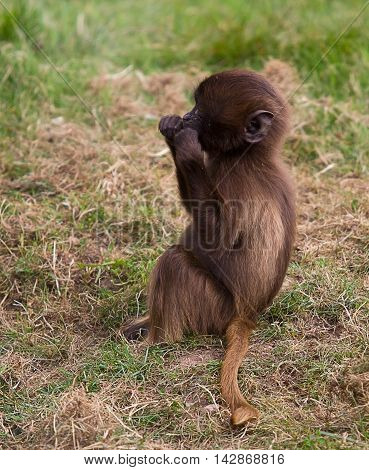 photograph of a young Gelada Baboon playing with some grass
