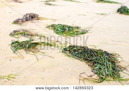 seaweed on the beach green algae on the sand
