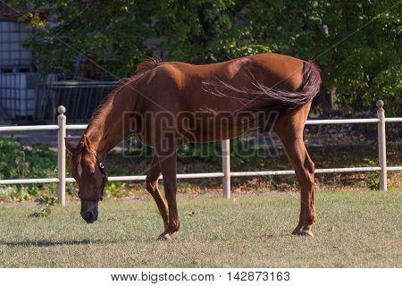Horse grazes in a sunlit field near the fence