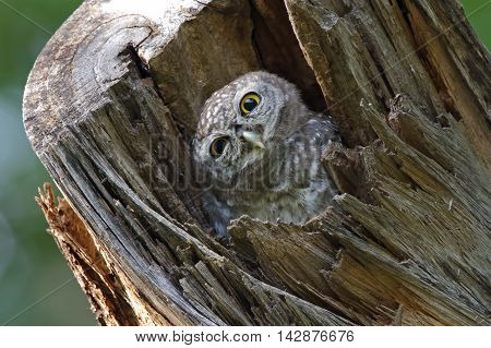Spotted owlet Athene brama Bird in tree hollow