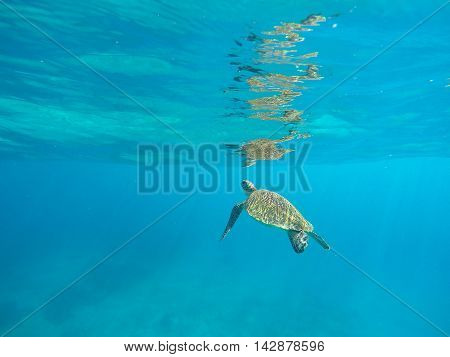 Green sea turtle underwater in deep blue ocean. Lovely sea turtle closeup. Green turtle swimming in the sea. Snorkeling with turtle. Philippines snorkeling spot - Apo island. Tropical sea life
