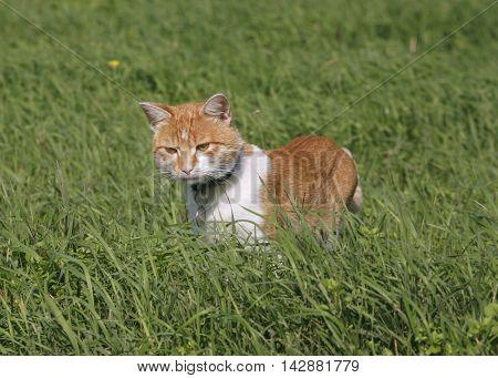 Reddish striped kitten hiding in the grass