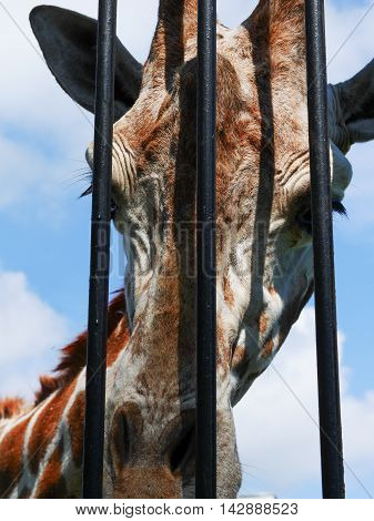 close-up of giraffe head behind zoo bars