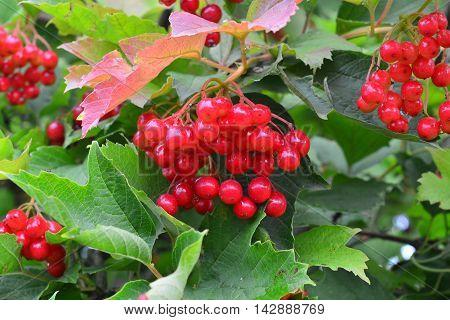 red fruit bush viburnum ripe in the summer park