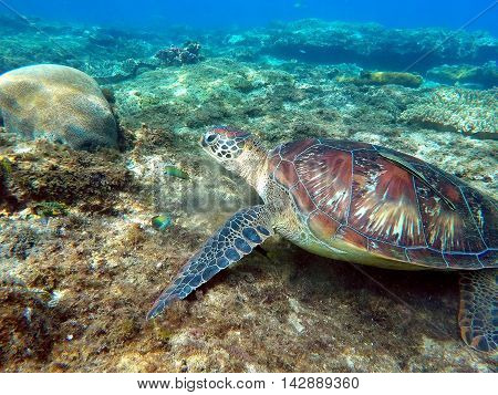 Green sea turtle eat sea grass between corals. Underwater life at sea bottom. Coral fish wrasse. Lovely sea turtle closeup. Exotic wild animal underwater. Philippines snorkeling spot - Apo island