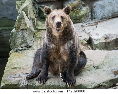 bear sits on stone looks in your eyes