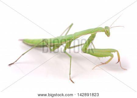 mantis isolated on white background close-up macro.