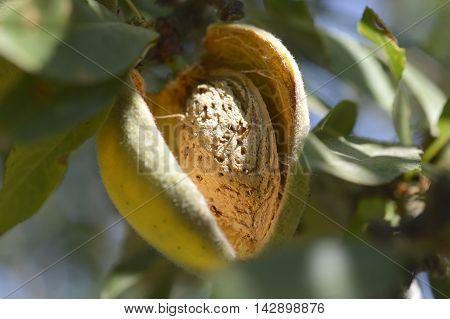 Almond  On  Tree.