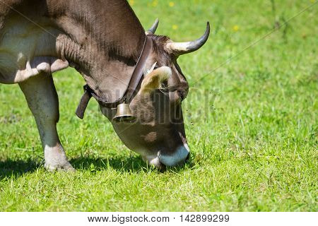 animal cow with cowbell and horns graze at green meadow