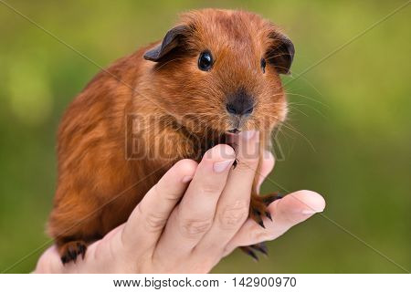 hand holding young guinea pig on green blurred background